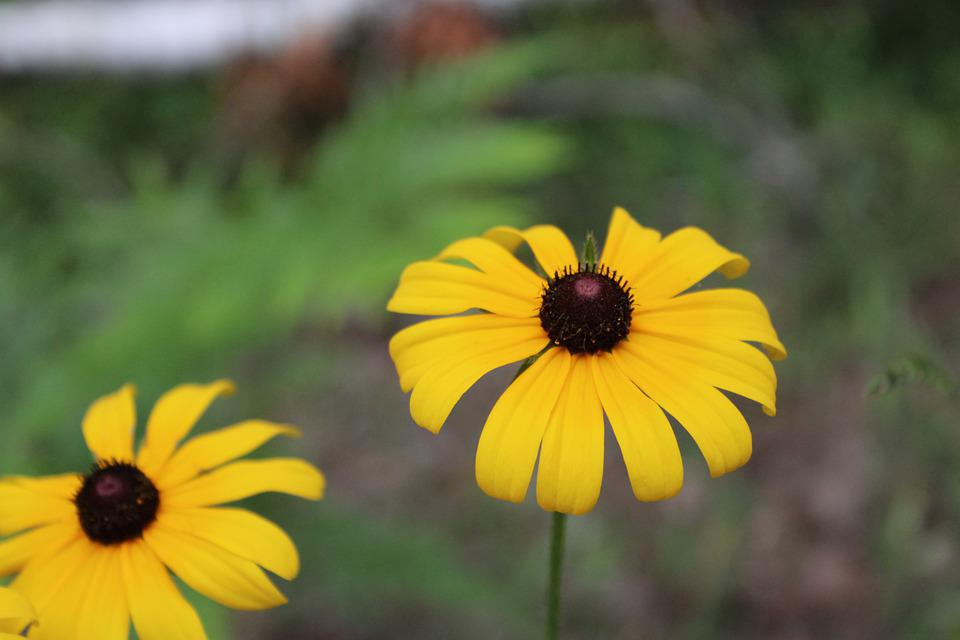 Flower, Black Eyed Susan, Plant, Nature, Bloom, Yellow
