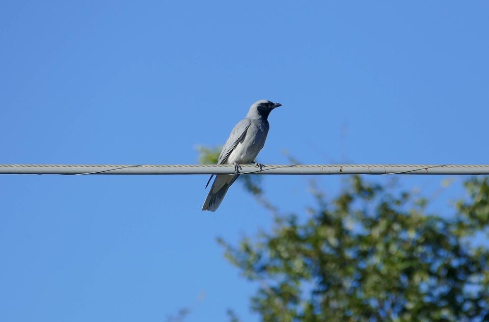 Australian, Bird, Native, Black Faced Cuckoo Shrike