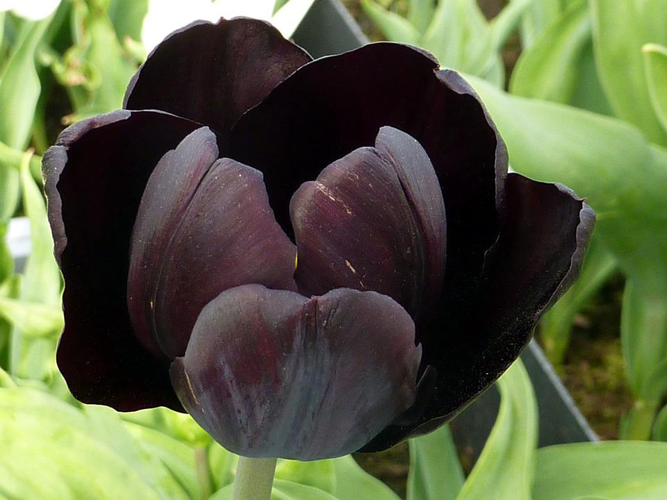 Tulip, Flower, Black