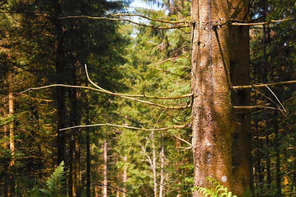 Forest, Black Forest, Old, Fir