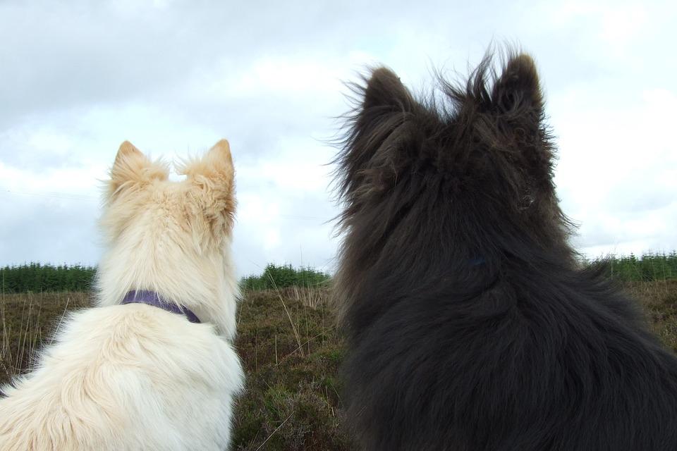 Dogs, White Fur, Black Fur, Back View, Friends, Pets