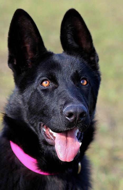 Black German Shepherd, Dog, Portrait, Head, Nice