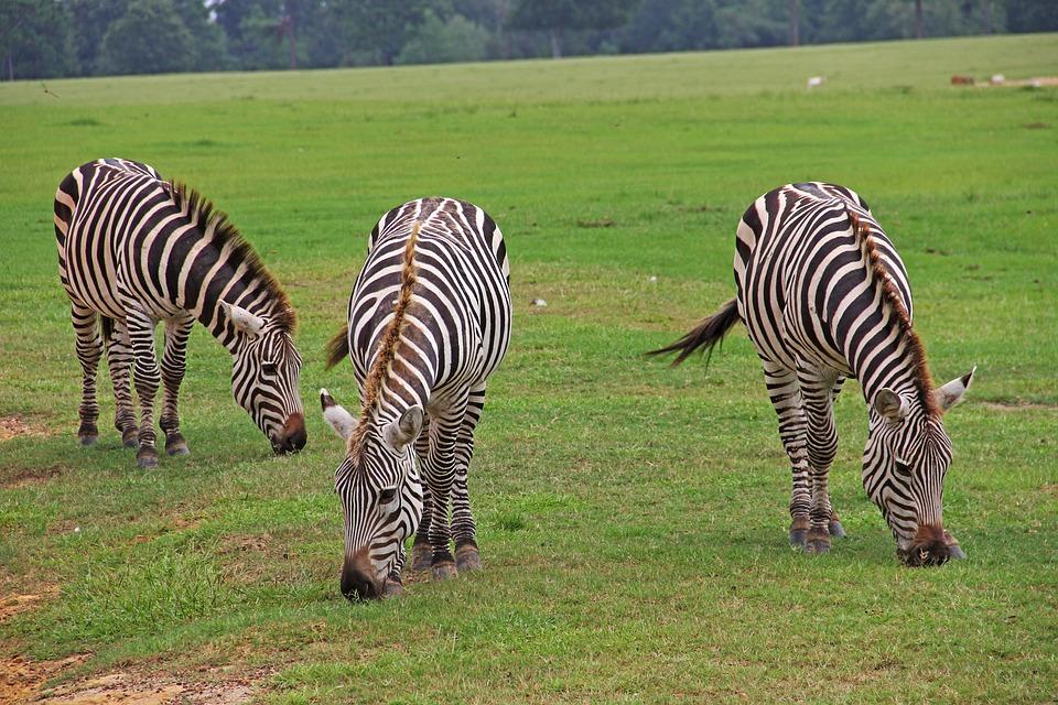 Zebras, Striped, Stripes, Black, White, Graze, Grazing