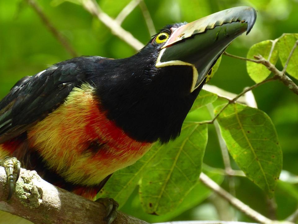 Toucan, Yellow, Black, Red, Tikal, Guatemala