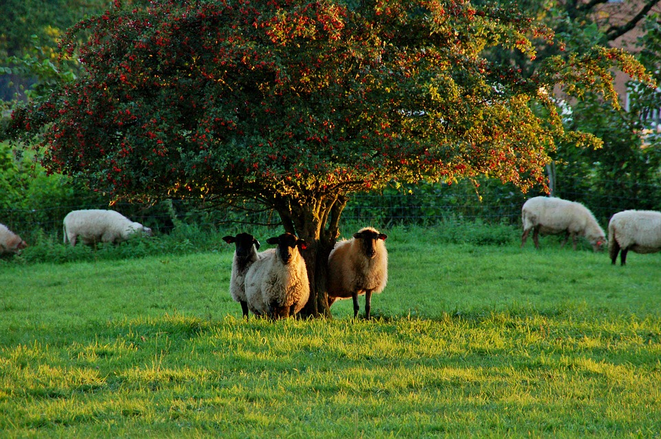 Sheep, Black Head