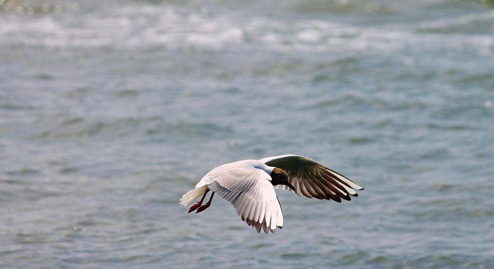 Black Headed Gull, Seagull, Flight, Fly, Wing, Feather