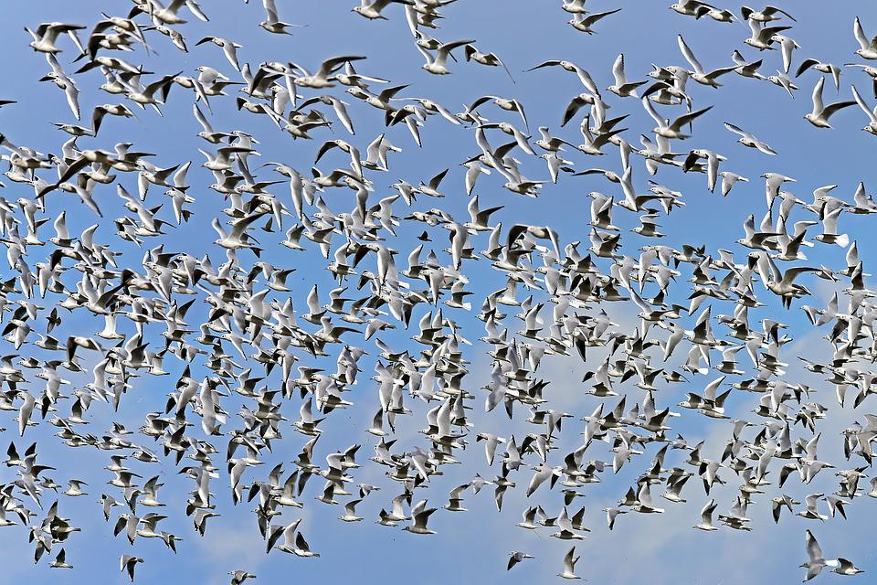 Black Headed Gulls, Swarm, Flock Of Birds