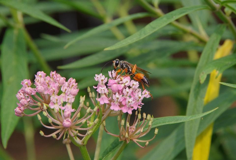Wasp, Milkweed, Orange, Black, Bug, Insect