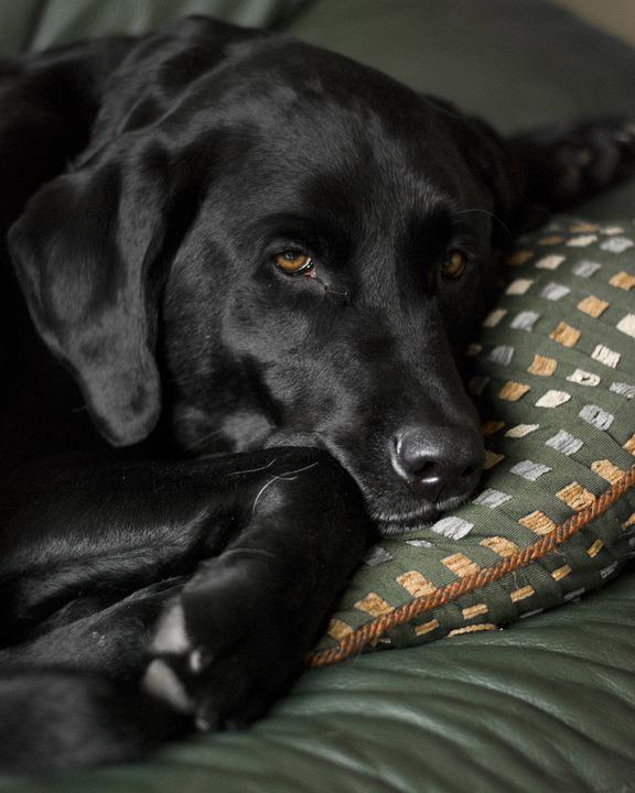 Dog, Labrador Retriever, Black Lab, Labrador, Retriever