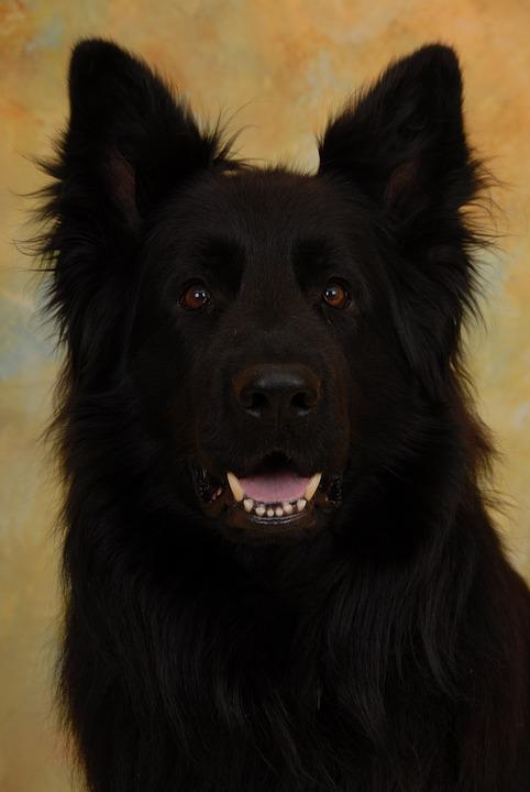 Lacquer Black Long Hair German Shepherd, Black