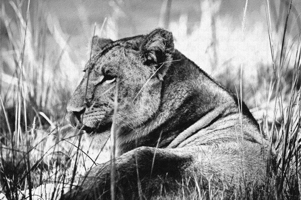 Lioness, Resting, Black, White, B W, Rest, Female, Lion