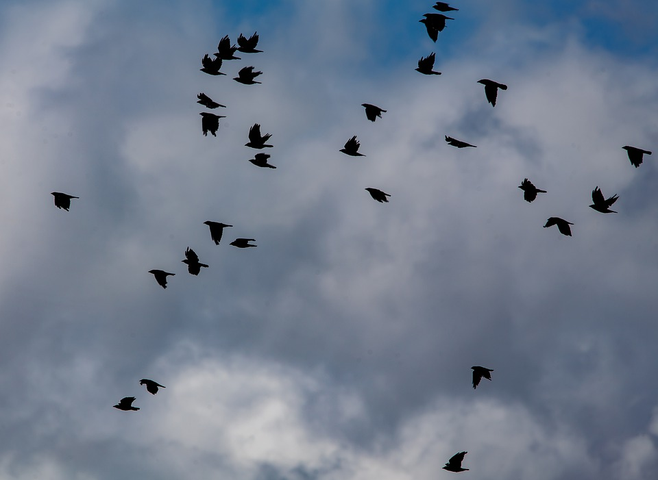 Murder Of Crows, Crows, Crows In Flight, Black, Ravens