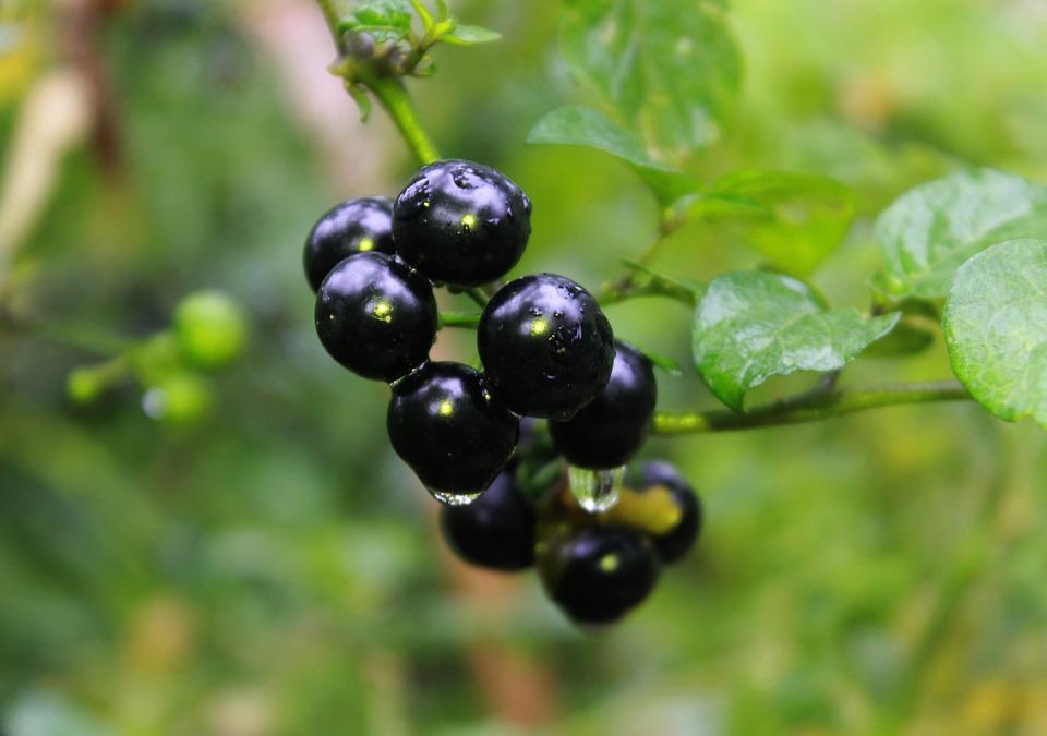 Black Nightshade, Plant, Vegetable, Solanaceae, Food