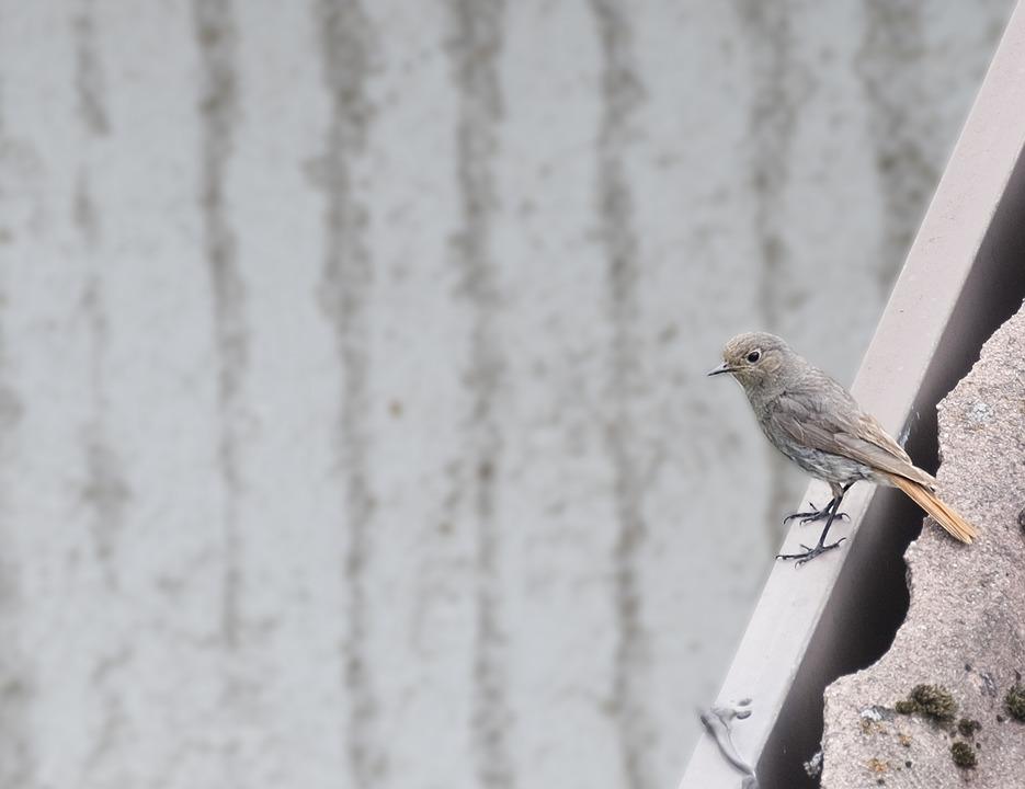 Bird, Black Redstart, Mountain