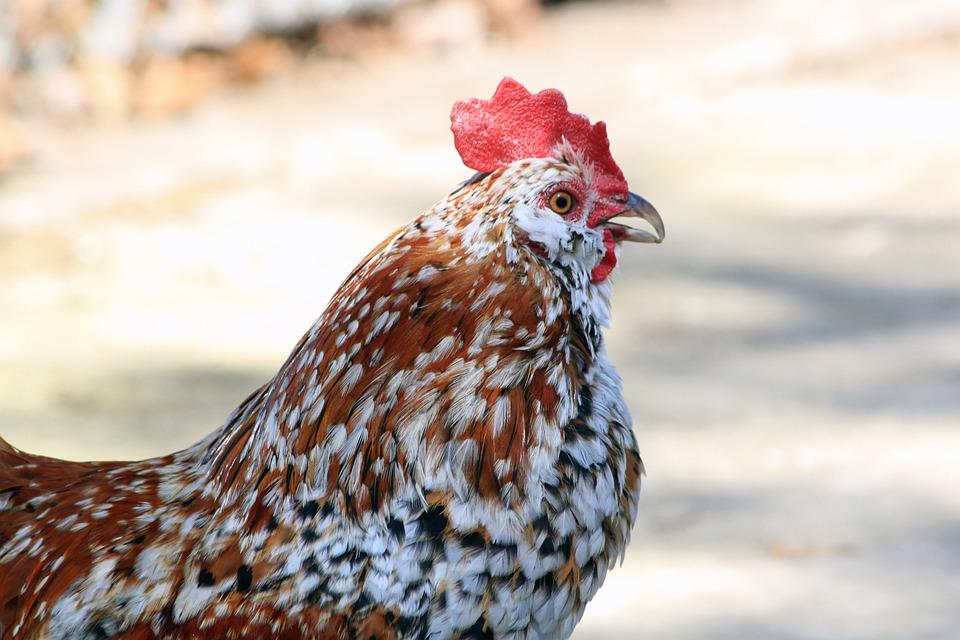 free photo black rooster bantam spots profile orange white max pixel