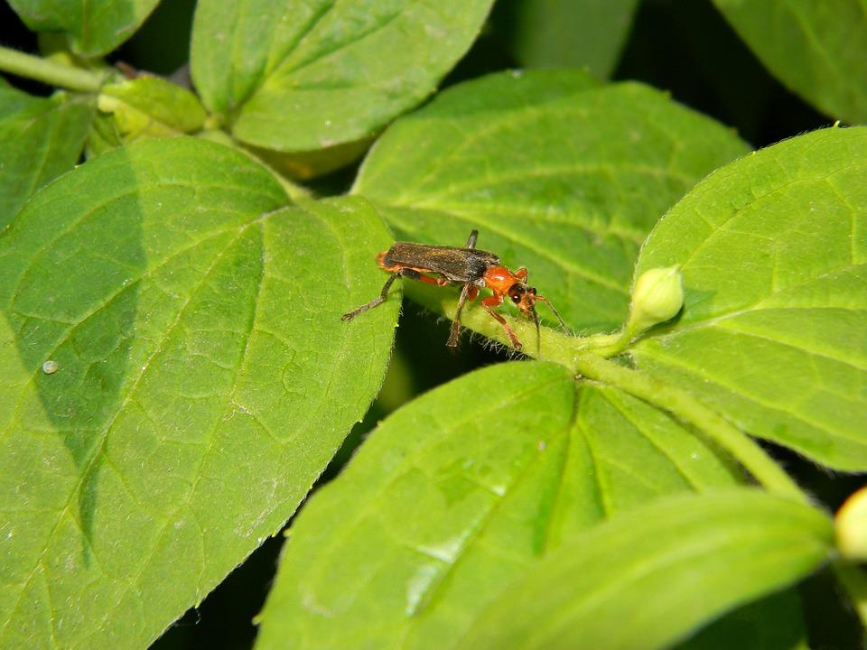 Beetle, Beetle Firefighter, Soldier Beetle, Black, Red