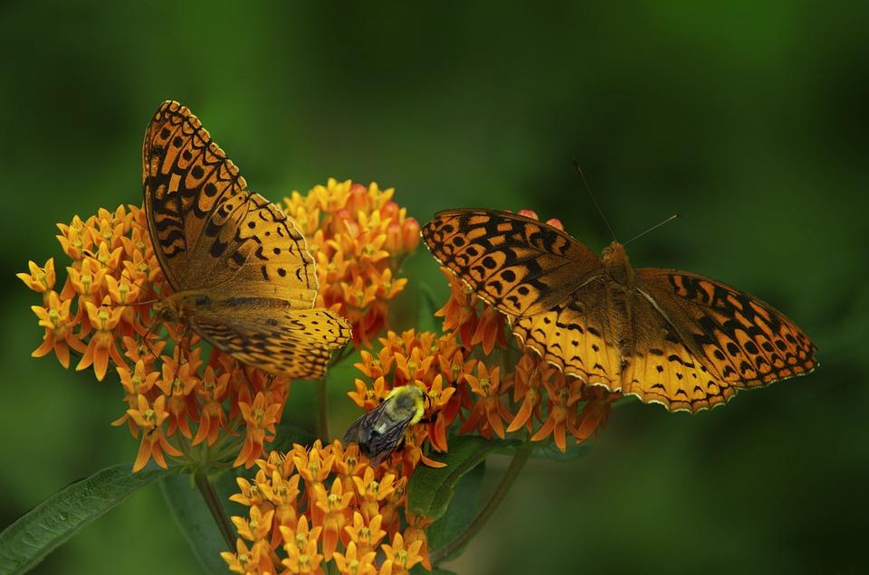 Butterfly, Butterfly Weed, Orange Wings, Black Spots