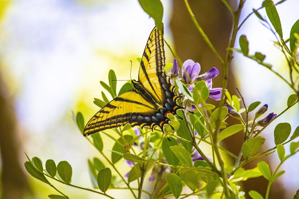 Butterfly, Spring, Yellow, Blue, Black, Flowering Bush