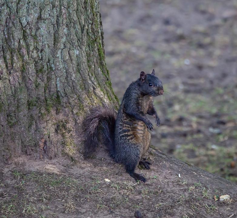 Black Squirrel, Resting, Squirrel