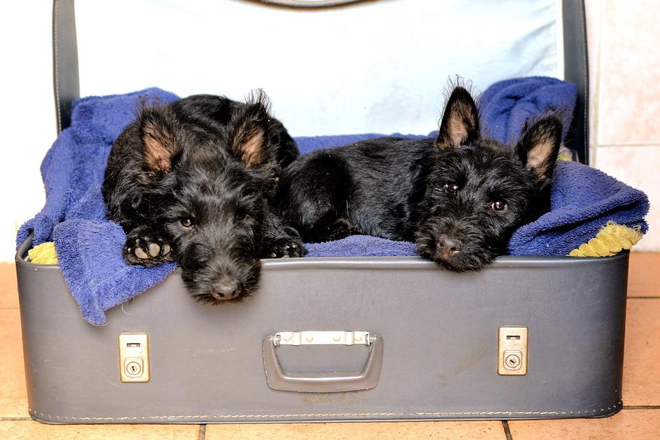 Scottish Terriers, Black, Sleeping, Suitcase
