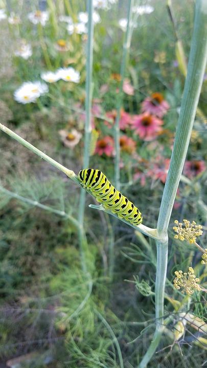 Caterpillar, Black Swallowtail, Butterfly, Bug, Summer