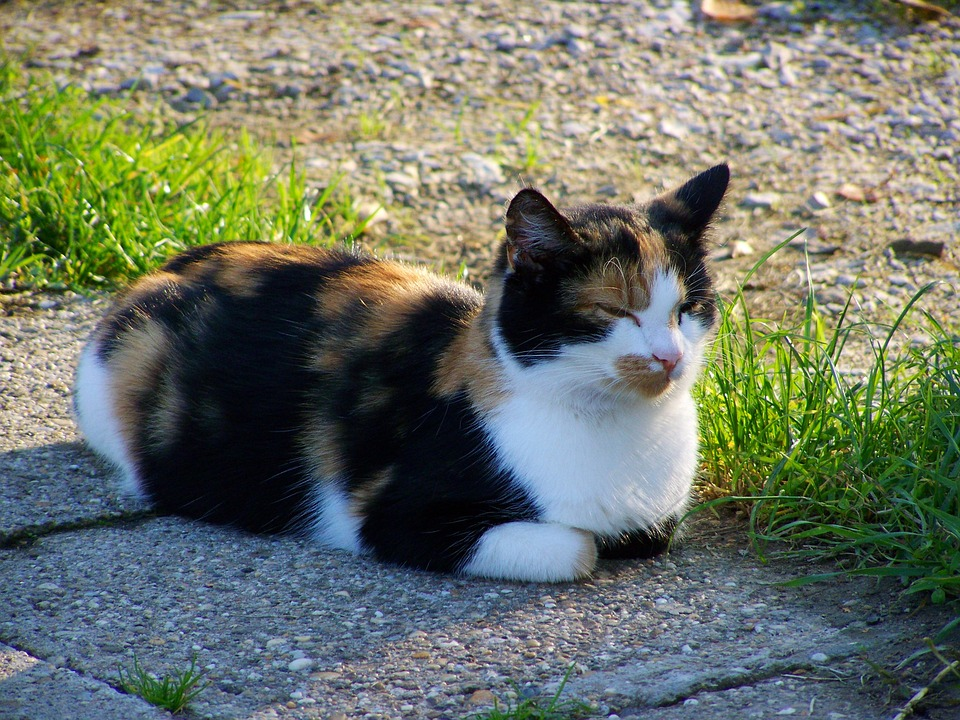 Multicolored Cat, Pets, Black White And Brown