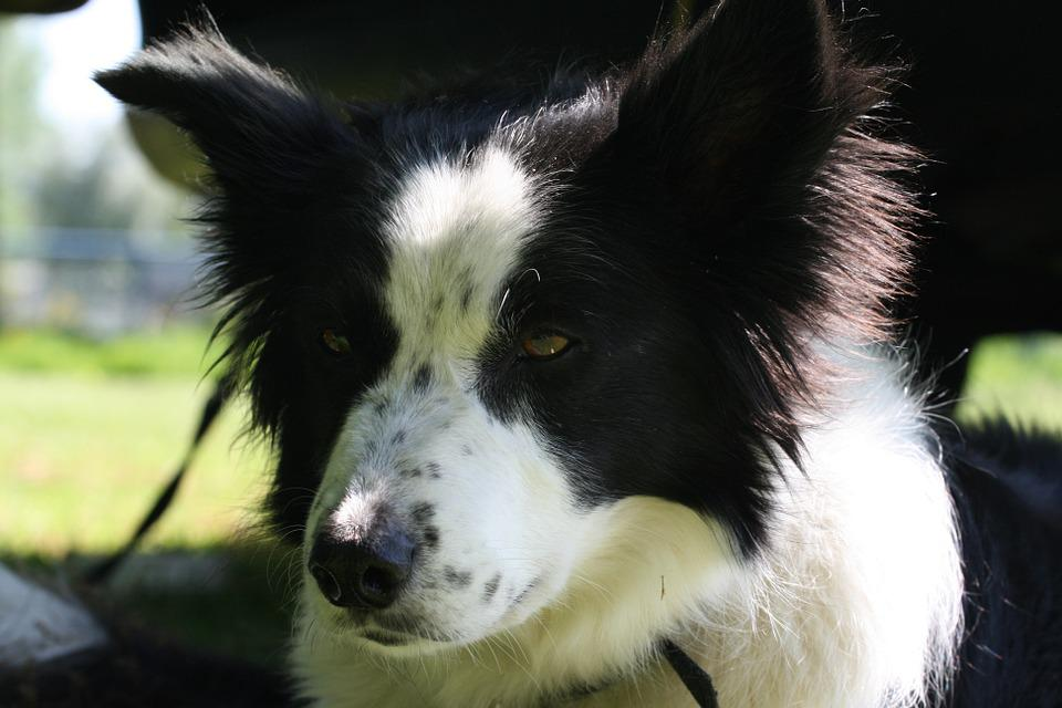 Border Collie, Black White, Bitch, Face