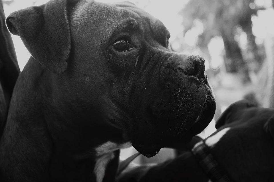 Dog, Boxer, Black, White, Animal, Portrait, Cute