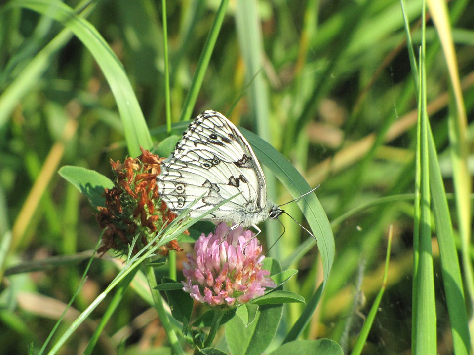 Butterfly, Flower, Nature, Lavender, Black White
