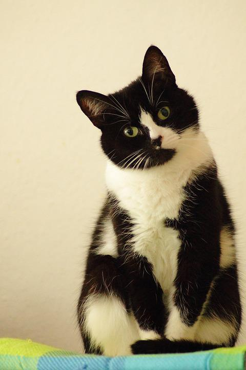 Cat, Domestic Cat, Black White, Pet, Dear, Mieze
