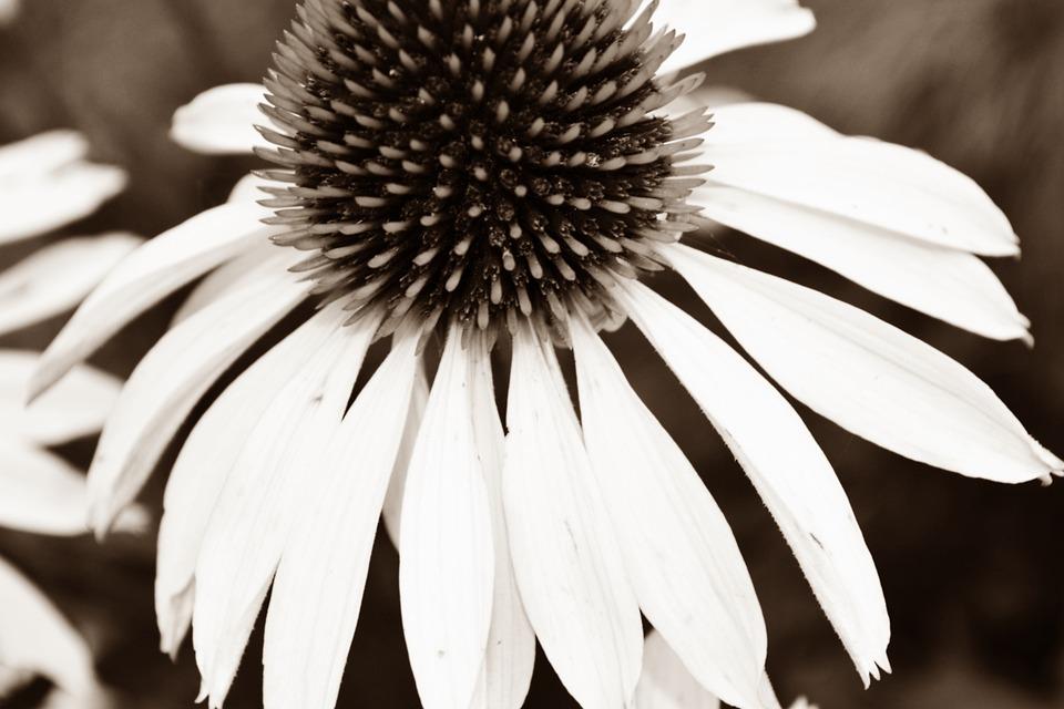 Free photo black white flower black and white bloom blossom max pixel black white blossom bloom black and white flower mightylinksfo Image collections