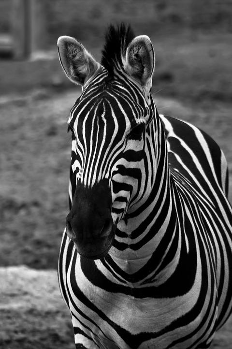 Zebra, Horse, Striped, Black, White, Africa, Safari