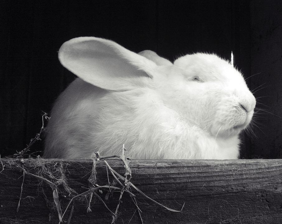 Rabbit, White, Black