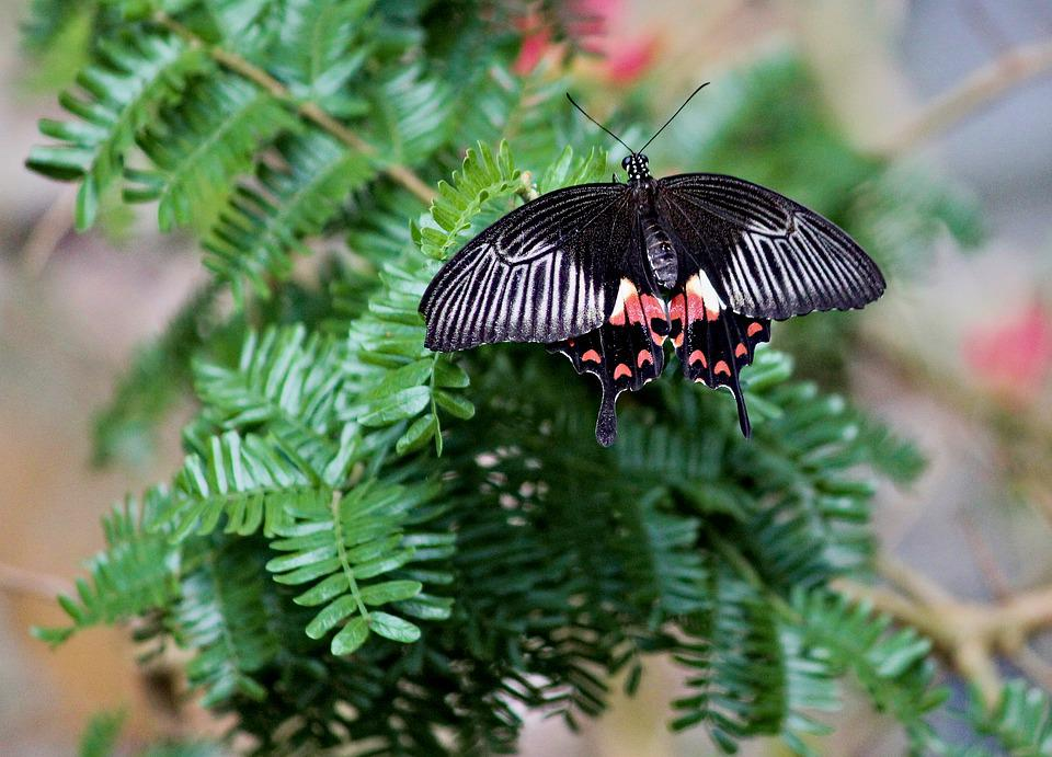 Butterfly, The Exotic, Wings, Black, Insect, Nature