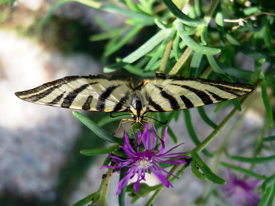 Free photo Black Yellow Insect Butterfly Stripes Bug Flower