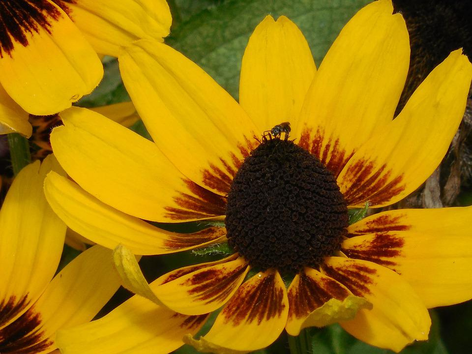 Free photo black eyed black eyed susan susan yellow flower max pixel black eyed susan flower yellow black eyed susan mightylinksfo