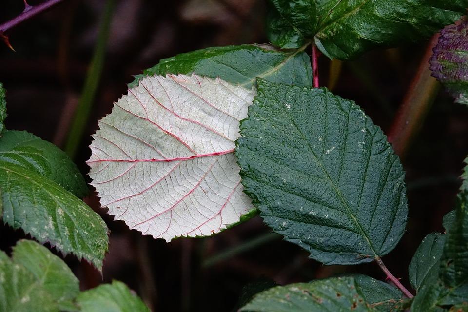 Blackberry Leaves, Leaves, Blackberries