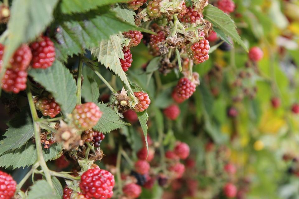Blackberries, Fruits, Bush, Healthy, Vitamins, Nature