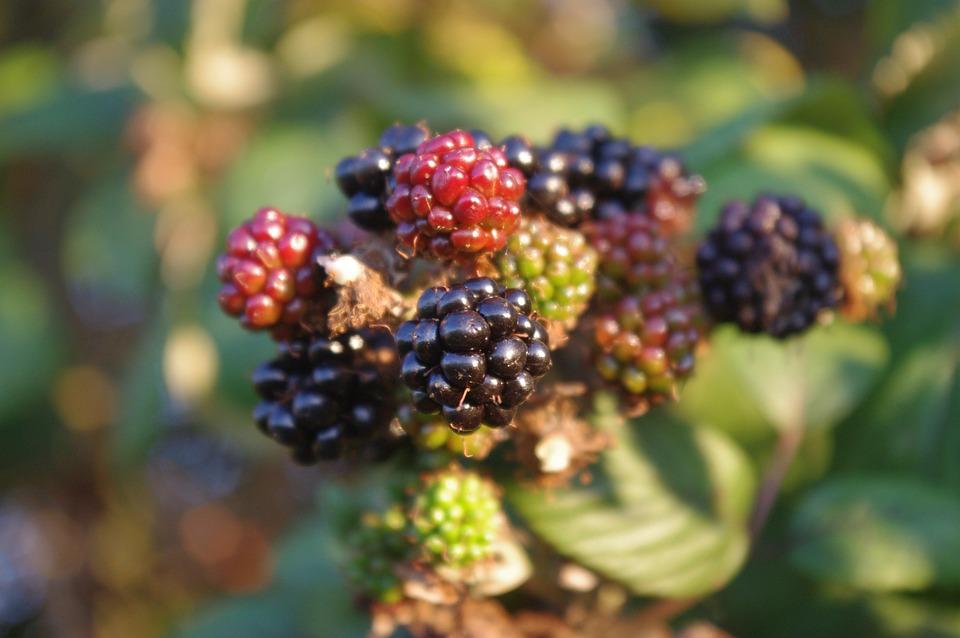 Blackberries, Autumn, Fruit, Fall, Harvest, Blackberry