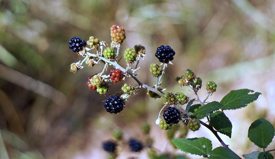 Blackberries, Berries, Red, Fruit, Wild, Blackberry