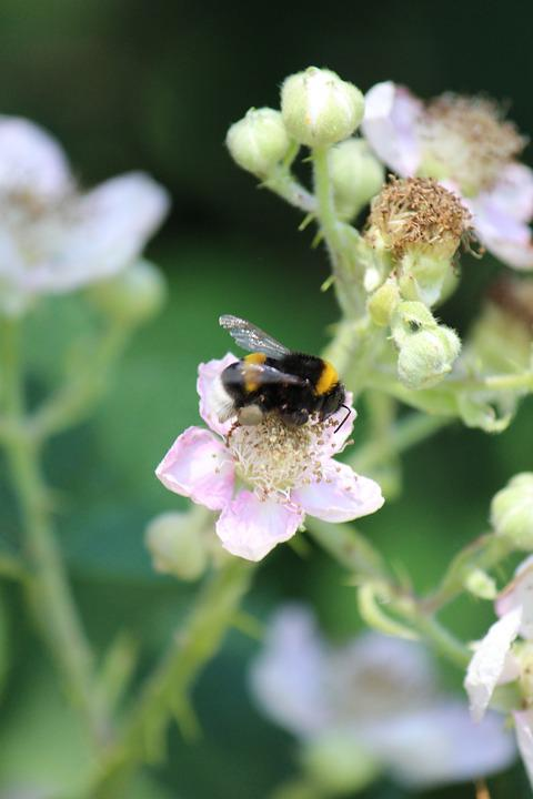 Blackberry, Hummel, Pollination, Nectar, Close, Summer