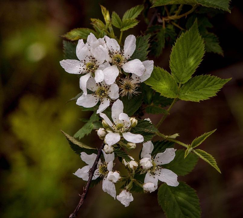 Blackberry Blossoms, Blackberry Flowers, Fruit Blossoms