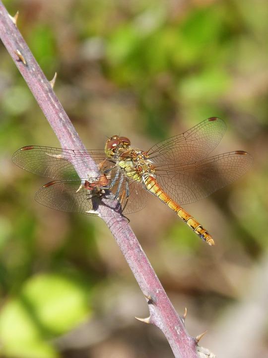 Dragonfly, Sympetrum Striolatum, Blackberry, Detail