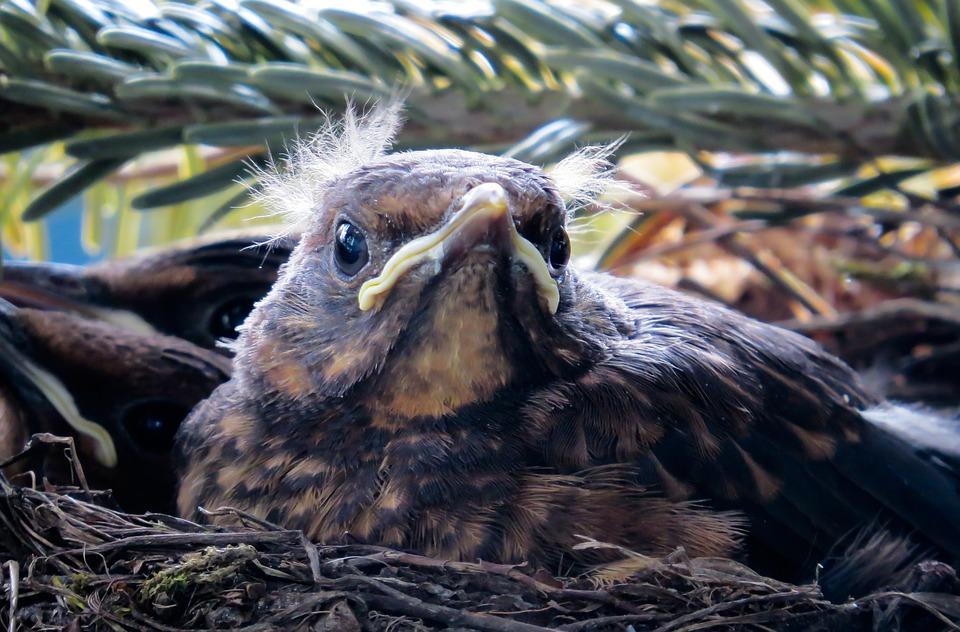 Animal, Bird, Nest, Blackbird, Young Bird, Feather