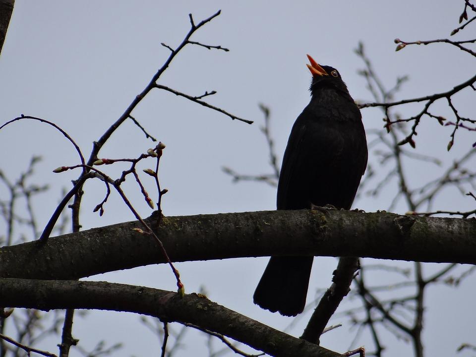 Blackbird, Songbird, Black Plumage, Animal