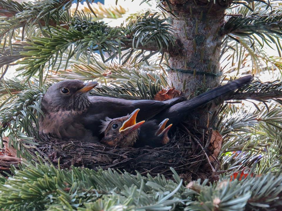 Bird, Blackbird, Nest, Bird's Nest, Blackbird Nest