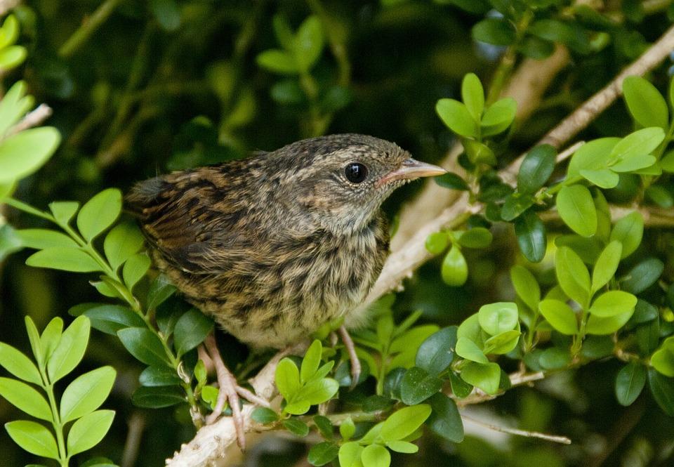 Blackbird, Birds, Fledglings