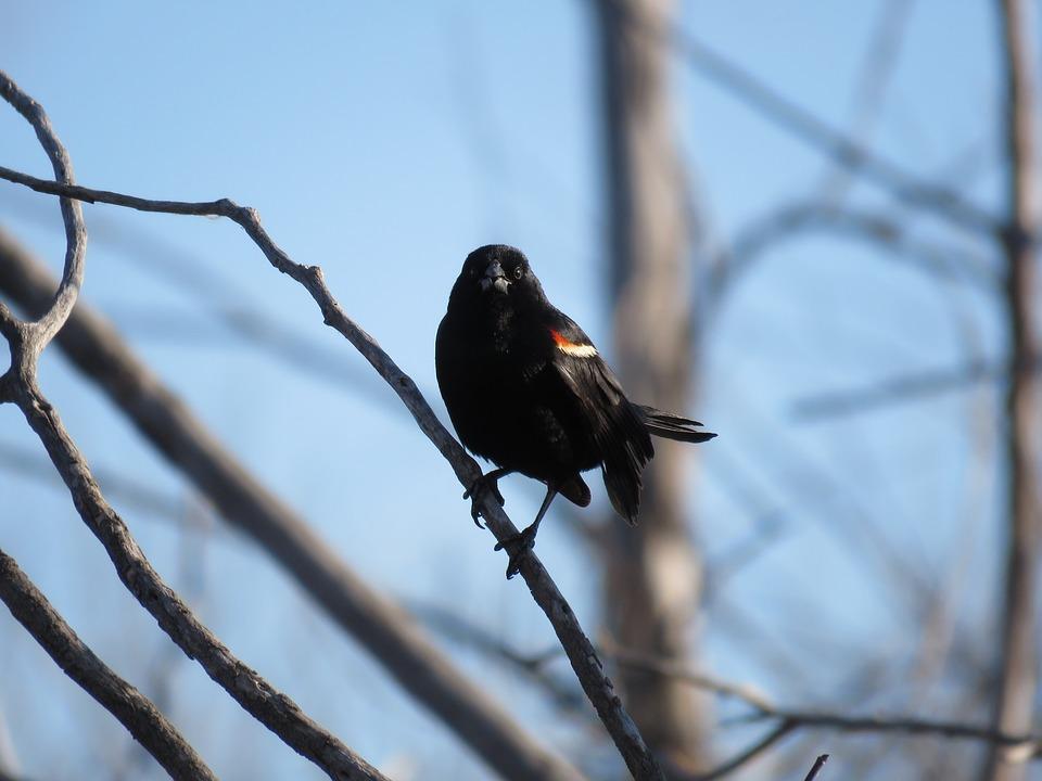 Red-winged Blackbird, Blackbird, Red-winged, Wildlife
