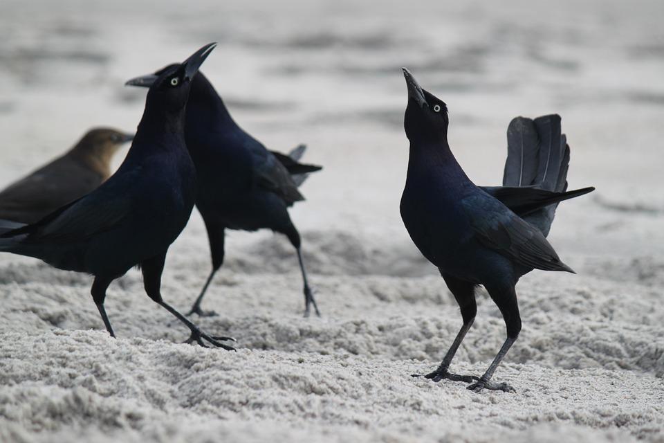 Blackbirds, Beach, Beach Birds, Bird, Nature, Animal