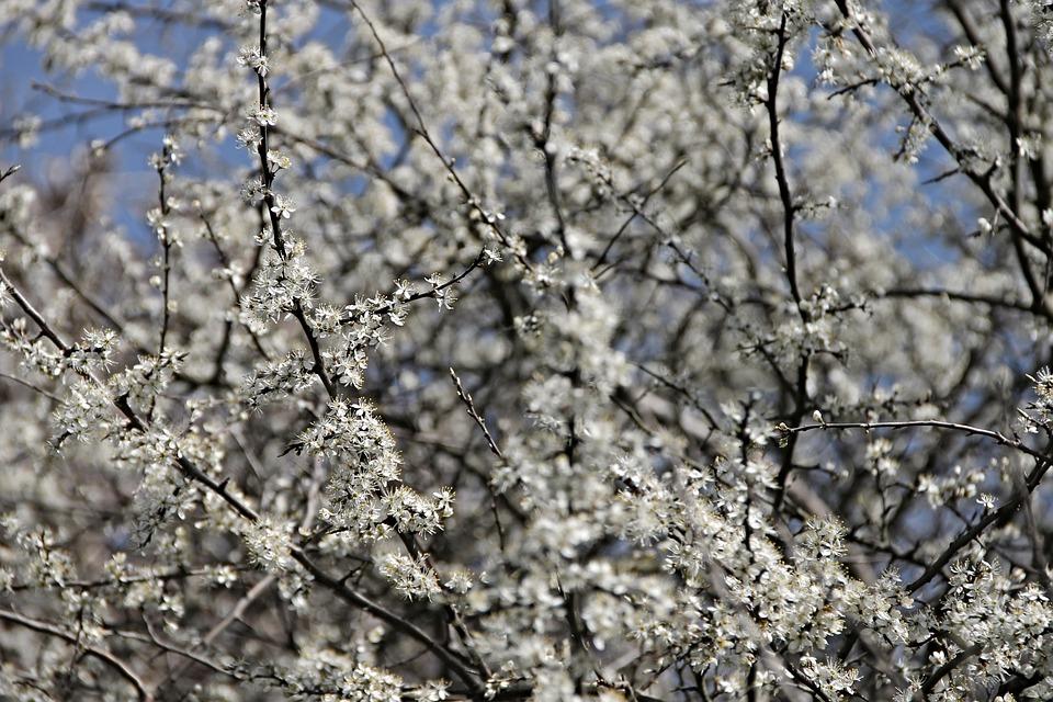 Blackthorn, Sloes, Black Thorn Flower, Schlehendorn